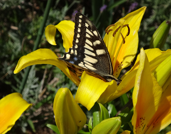 庭のお客様はキアゲハと・・・キジバトの営巣・子猫の保護など_a0136293_16015394.jpg