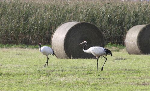 牧草ロールのある風景 7月14日_f0113639_16145683.jpg