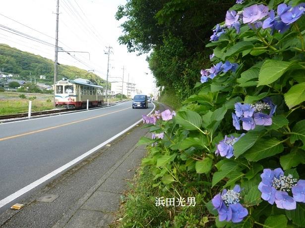 ○とさでん交通と紫陽花  (伊野線)_f0111289_11480139.jpg