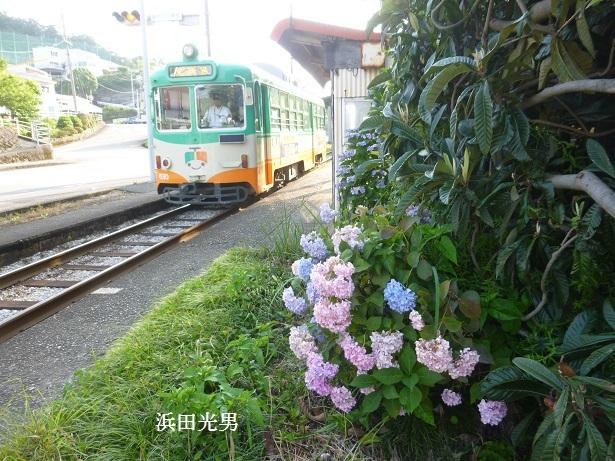 ○とさでん交通と紫陽花  (伊野線)_f0111289_11481522.jpg