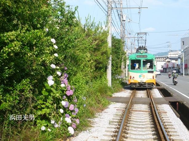 ○とさでん交通と紫陽花  (伊野線)_f0111289_11484157.jpg