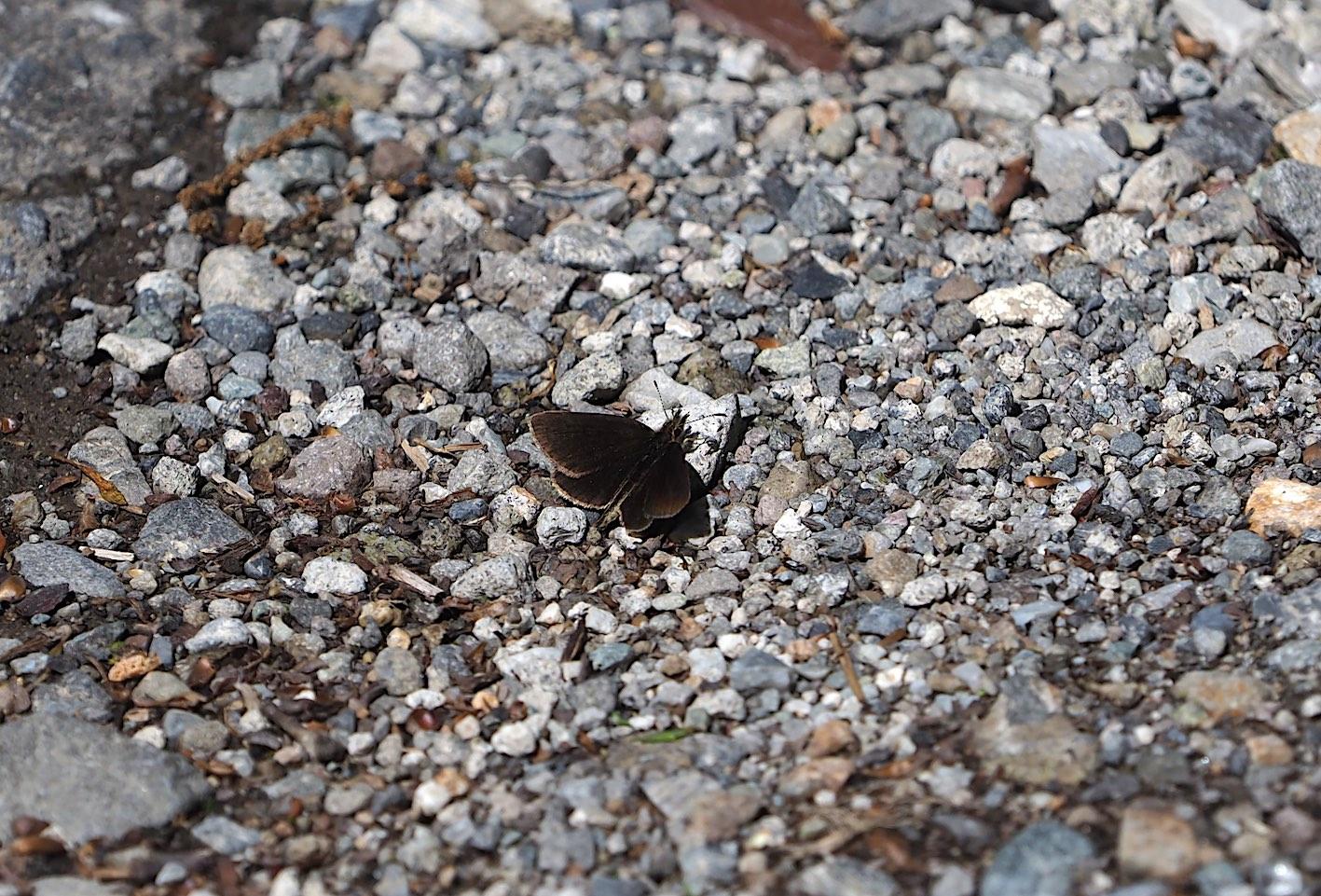アサギマダラの卵&ミドリヒョウモンの幼虫(2019年7月1日)_d0303129_49268.jpg