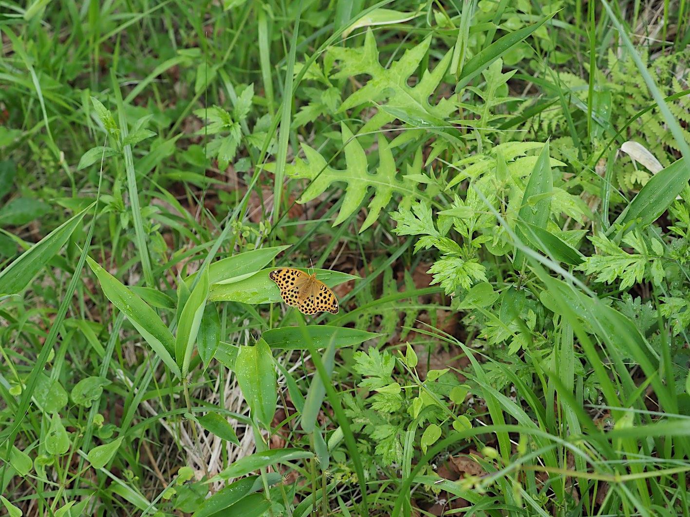 アサギマダラの卵&ミドリヒョウモンの幼虫(2019年7月1日)_d0303129_493574.jpg