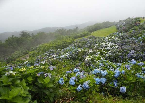 今年も行って来ました、大川原高原。あじさい見ごろ_b0149340_20331227.jpg