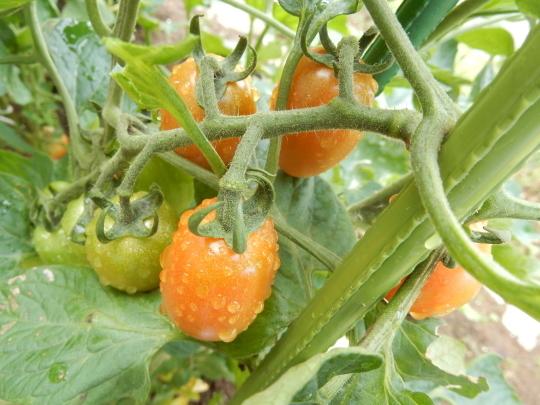 '19,7,15(月)雨ばかりで野菜が高騰しているらしい!_f0060461_10034736.jpg