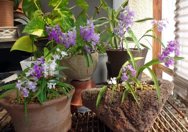 今年のウチョウラン。低温で花が長持ちかも~^^_a0136293_16443856.jpg