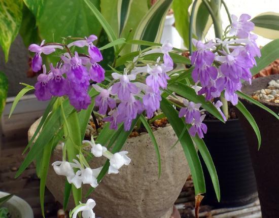 今年のウチョウラン。低温で花が長持ちかも~^^_a0136293_16483651.jpg