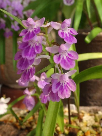 今年のウチョウラン。低温で花が長持ちかも~^^_a0136293_16503911.jpg