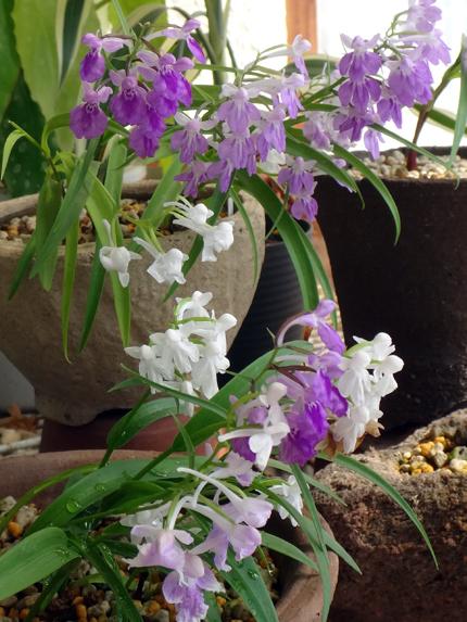 今年のウチョウラン。低温で花が長持ちかも~^^_a0136293_16541755.jpg