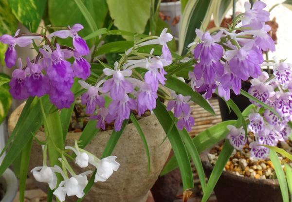 今年のウチョウラン。低温で花が長持ちかも~^^_a0136293_16553485.jpg