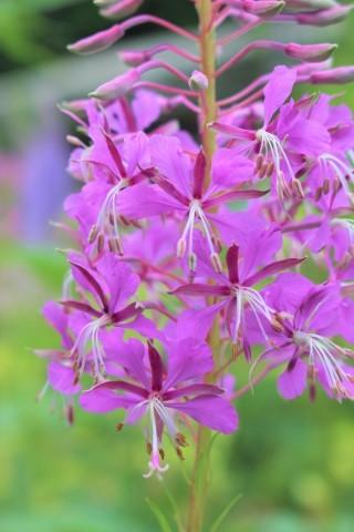 夏の花♪ヤナギランが咲く庭_e0341606_21034268.jpg