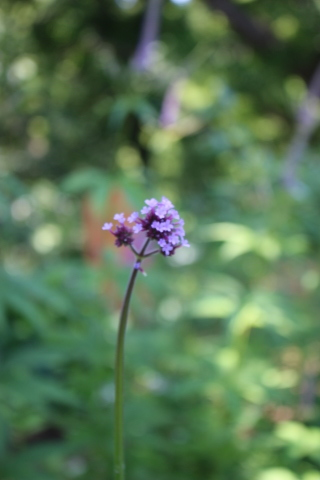 夏の花♪ヤナギランが咲く庭_e0341606_21201279.jpg