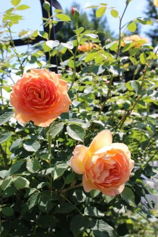 夏の花♪ヤナギランが咲く庭_e0341606_21332037.jpg