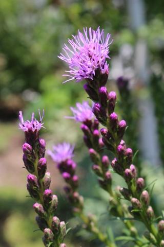 夏の花♪ヤナギランが咲く庭_e0341606_21392253.jpg