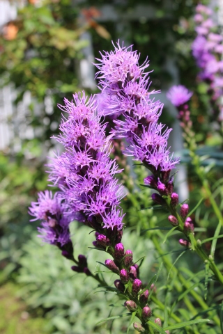 夏の花♪ヤナギランが咲く庭_e0341606_21433182.jpg