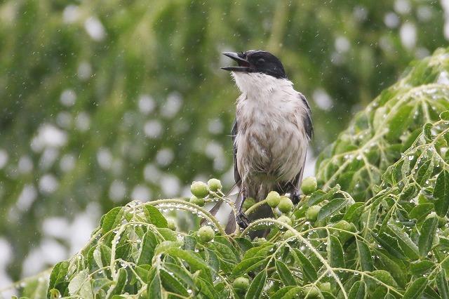 モズの幼鳥もやって来ました・・・★先週末の鳥類園(2019.7.13~15)_e0046474_11492707.jpg