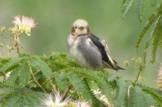 モズの幼鳥もやって来ました・・・★先週末の鳥類園(2019.7.13~15)_e0046474_11493261.jpg