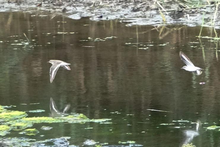 モズの幼鳥もやって来ました・・・★先週末の鳥類園(2019.7.13~15)_e0046474_11581554.jpg