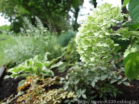 夏の庭しごと 庭に咲いた宿根草の花(エキナセア、エキノプスなど)_c0293787_14394745.jpg