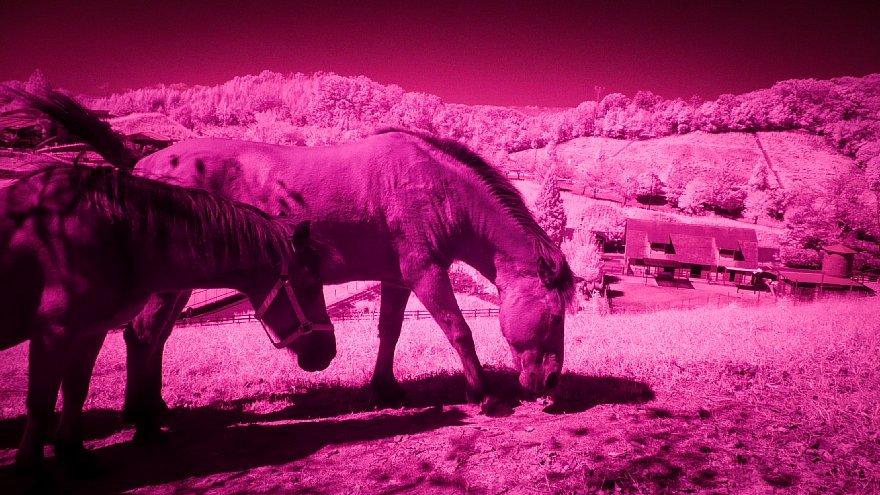 マゼンタ色に染まる牧場_d0353489_10543948.jpg