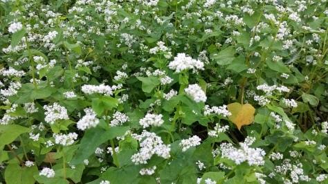 沼津産!蕎麦の花が咲いてます!_d0050503_05194222.jpg