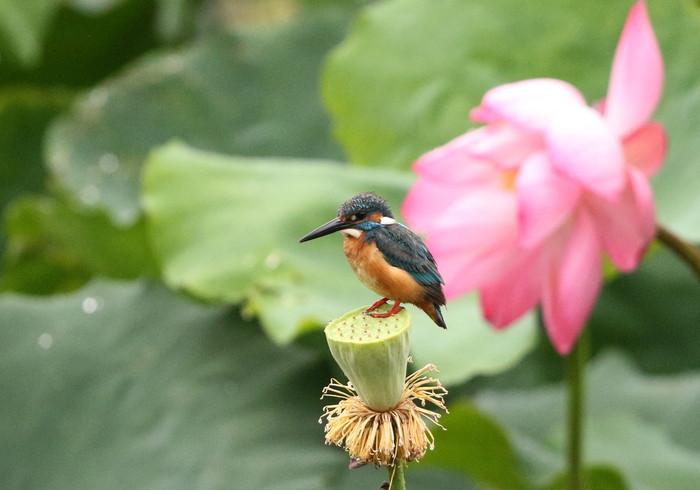 カワセミの池にて その5(シャワーヘッドへ)_f0239515_1801757.jpg