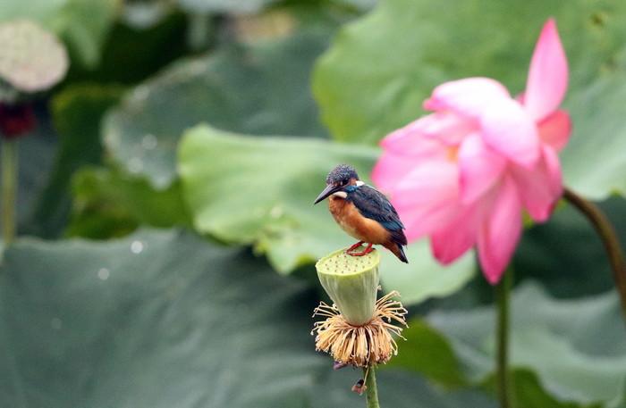 カワセミの池にて その5(シャワーヘッドへ)_f0239515_1803448.jpg