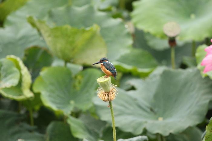 カワセミの池にて その5(シャワーヘッドへ)_f0239515_188590.jpg