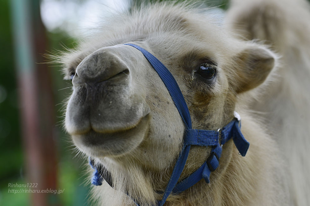 2019.7.13 東北サファリパーク☆ラクダのカリンちゃん【Camel】_f0250322_20315719.jpg