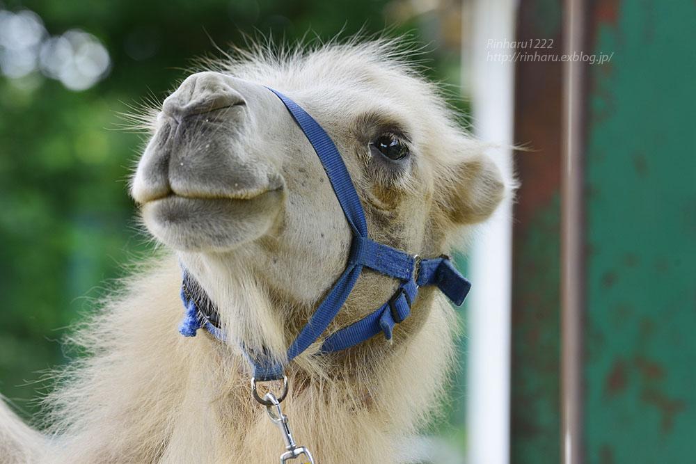 2019.7.13 東北サファリパーク☆ラクダのカリンちゃん【Camel】_f0250322_20321266.jpg