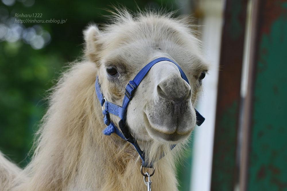 2019.7.13 東北サファリパーク☆ラクダのカリンちゃん【Camel】_f0250322_20321632.jpg
