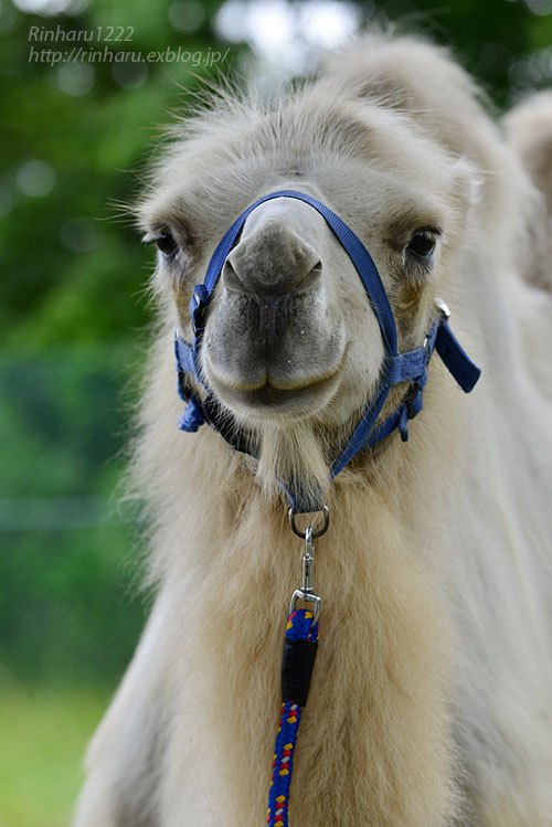 2019.7.13 東北サファリパーク☆ラクダのカリンちゃん【Camel】_f0250322_2032193.jpg
