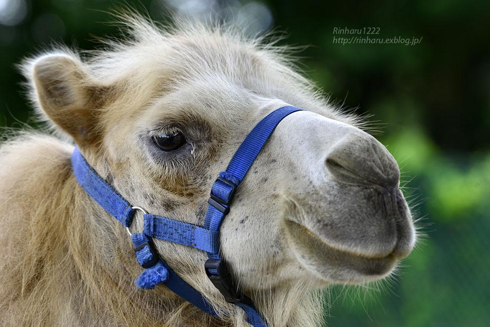 2019.7.13 東北サファリパーク☆ラクダのカリンちゃん【Camel】_f0250322_20322179.jpg