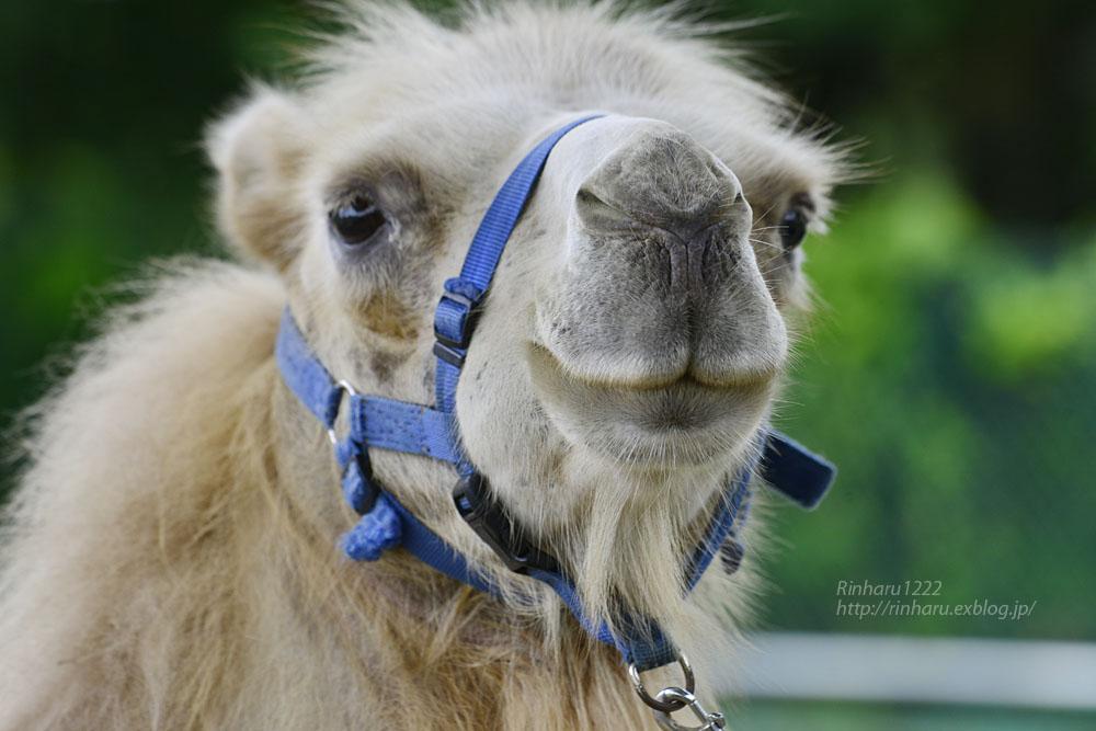 2019.7.13 東北サファリパーク☆ラクダのカリンちゃん【Camel】_f0250322_20322689.jpg