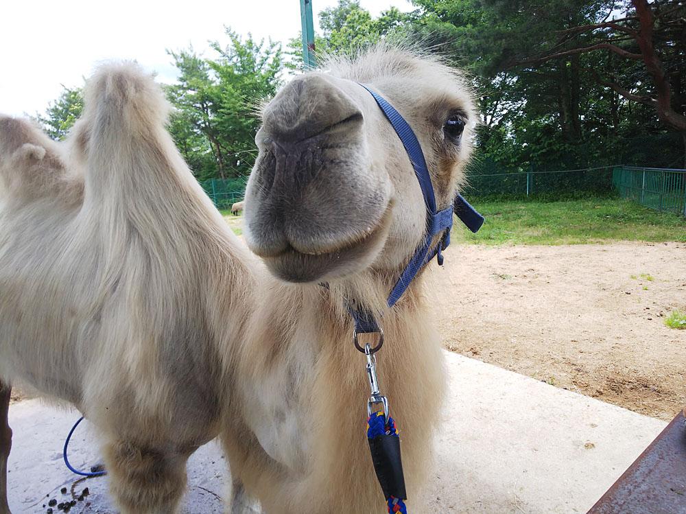 2019.7.13 東北サファリパーク☆ラクダのカリンちゃん【Camel】_f0250322_20323673.jpg