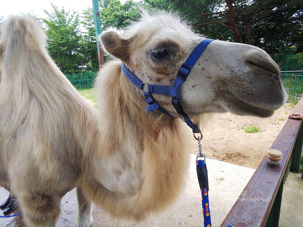 2019.7.13 東北サファリパーク☆ラクダのカリンちゃん【Camel】_f0250322_20324280.jpg