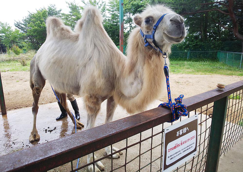2019.7.13 東北サファリパーク☆ラクダのカリンちゃん【Camel】_f0250322_20324843.jpg