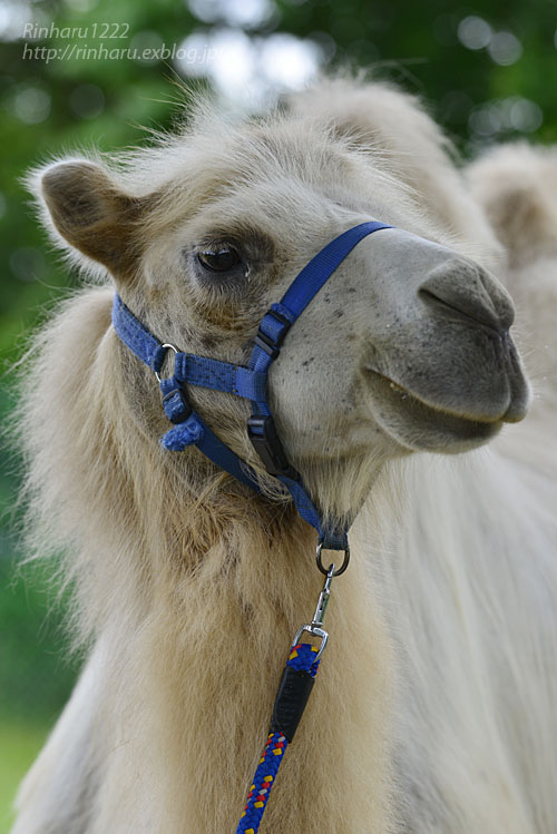 2019.7.13 東北サファリパーク☆ラクダのカリンちゃん【Camel】_f0250322_2032766.jpg