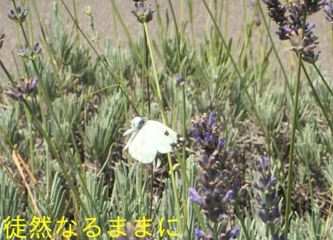 ヨーロッパシロチョウ  in  ドゥブロブニク_d0285540_12491911.jpg