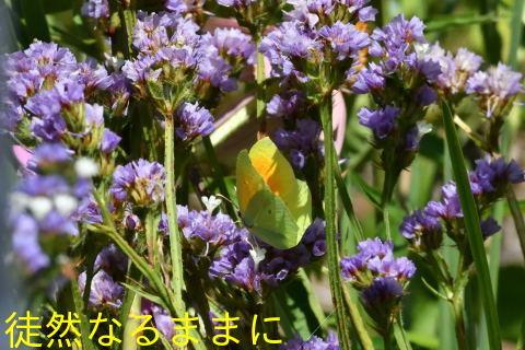 クレオパトラヤマキチョウ  in  LOPUD島①_d0285540_21040799.jpg