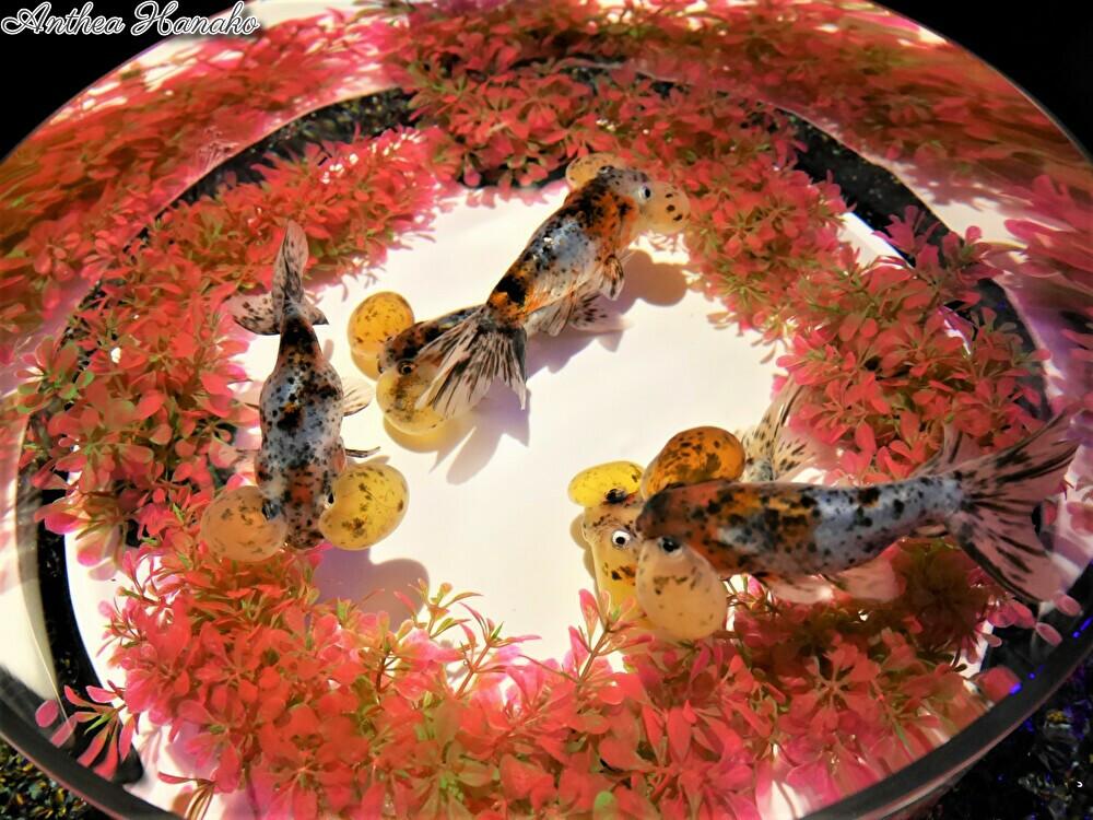 日本橋アートアクアリウムで金魚を見てきました_f0318142_11000834.jpg