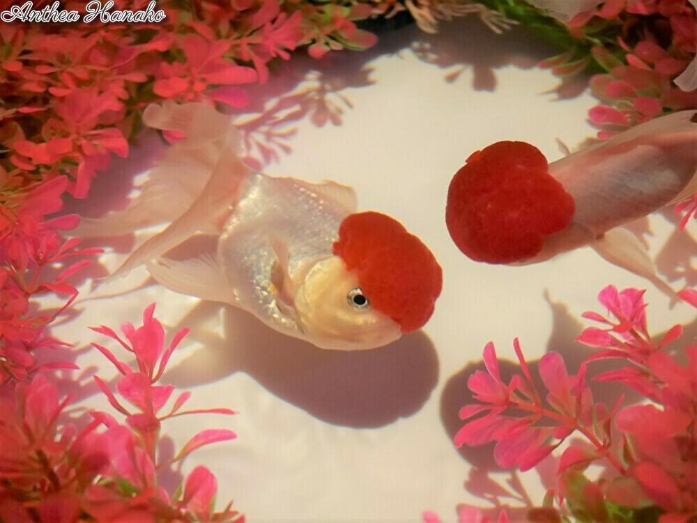 日本橋アートアクアリウムで金魚を見てきました_f0318142_11044039.jpg