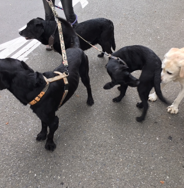 Love! Labrador retriever  同じ犬種_a0165160_11001951.jpg