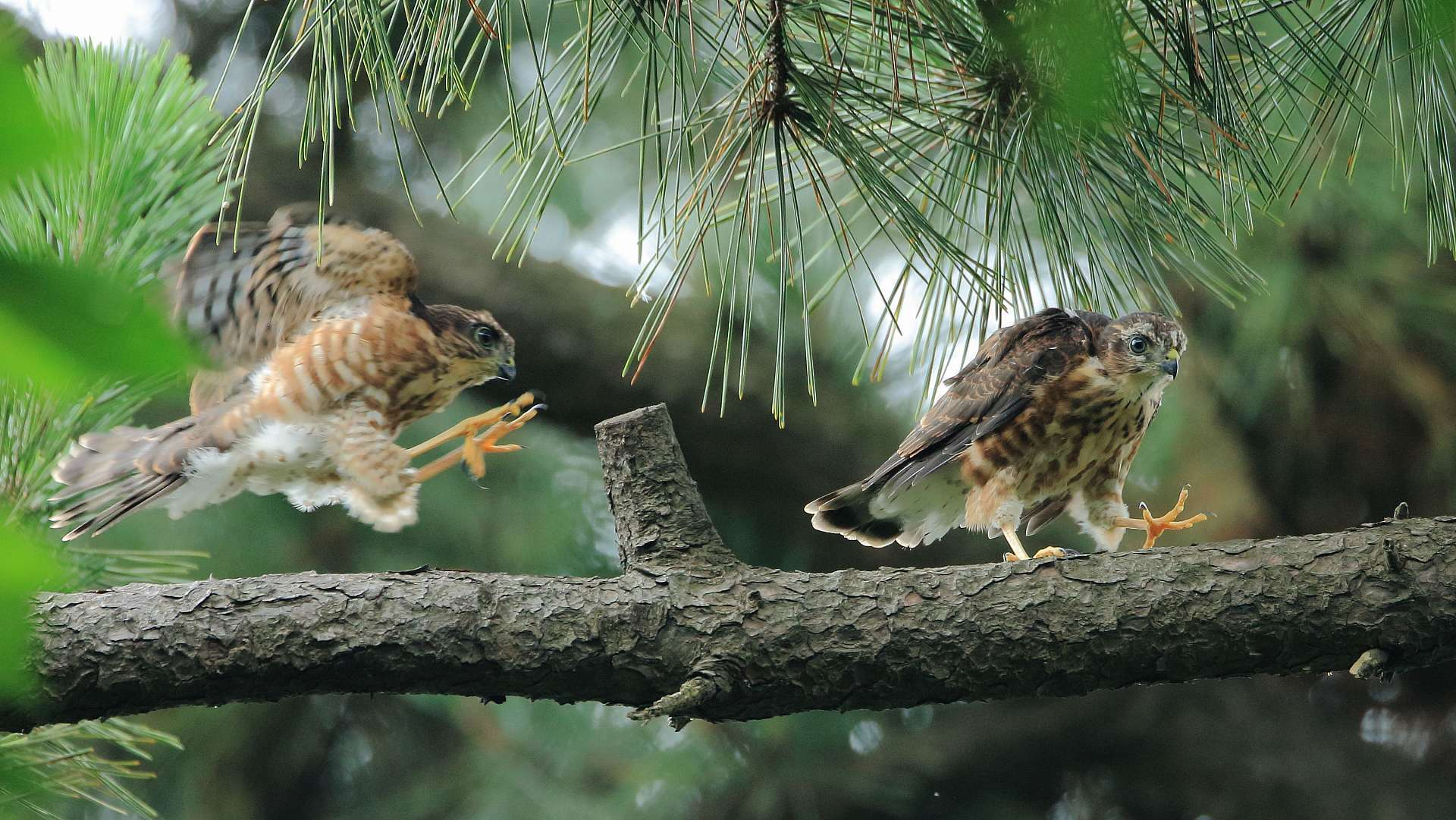 ツミ幼鳥が2羽で跳ね回る_f0105570_21564237.jpg