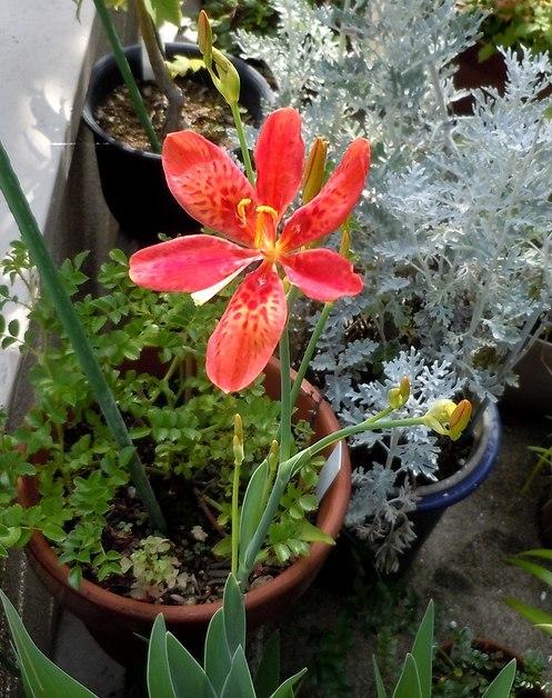 最初に咲いたのは ・・・_b0102572_10005554.jpg