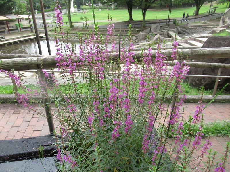ミソハギの花とミツバチ_f0361087_15073604.jpg