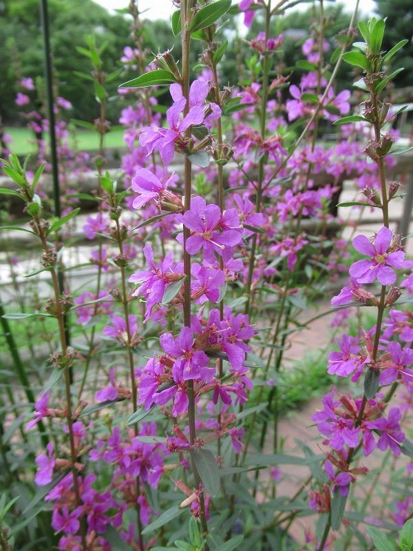 ミソハギの花とミツバチ_f0361087_15094288.jpg
