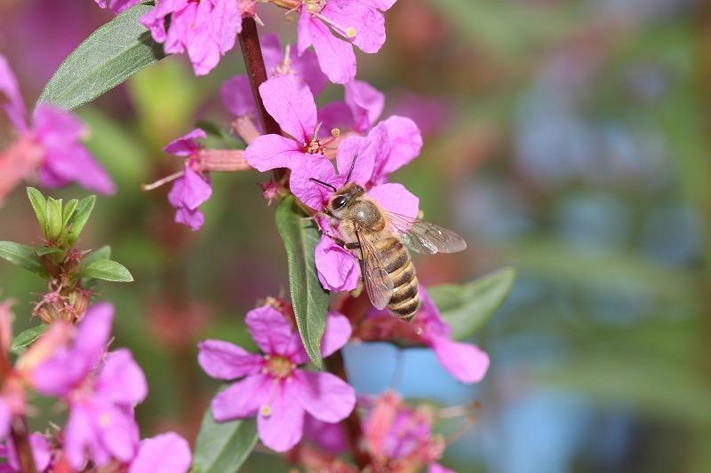 ミソハギの花とミツバチ_f0361087_17593361.jpg