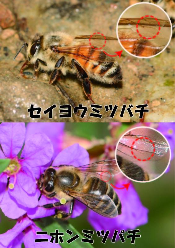 ミソハギの花とミツバチ_f0361087_18014753.jpg