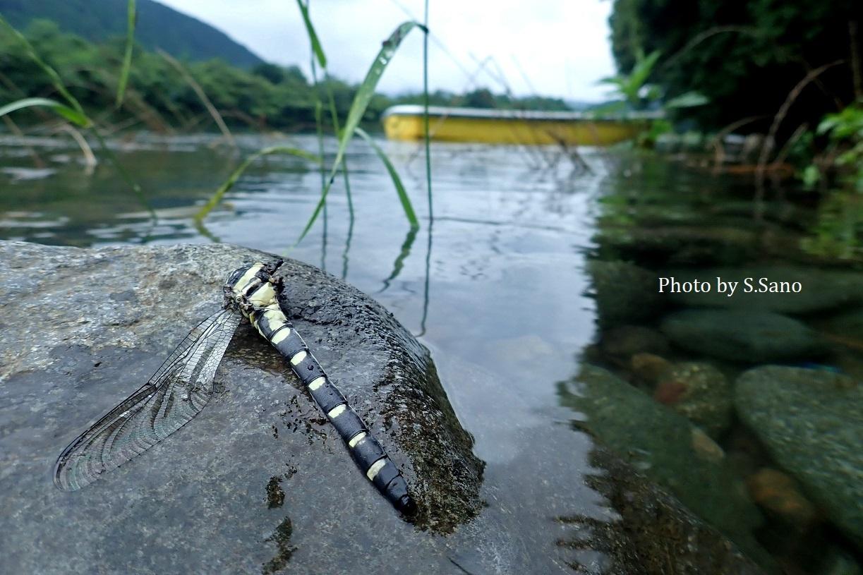相模川で水生昆虫調査(2019年7月)_b0348205_23122360.jpg